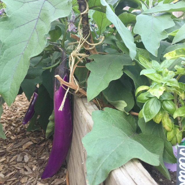 Im so glad I didnt pull out these eggplant plantshellip