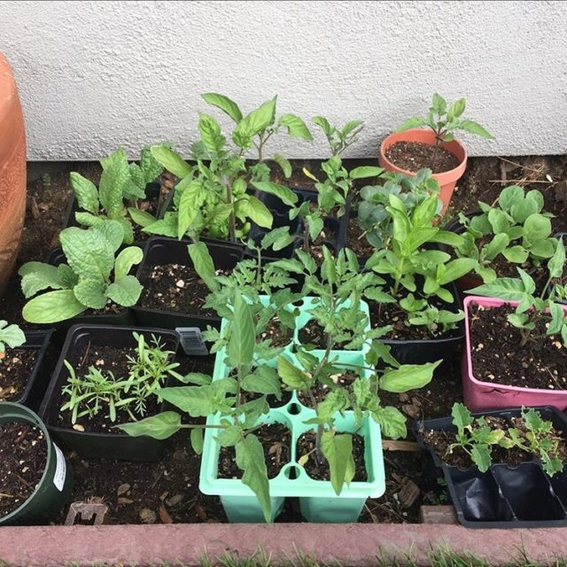 Seedlings are getting bigger I got most of the tomatoeshellip