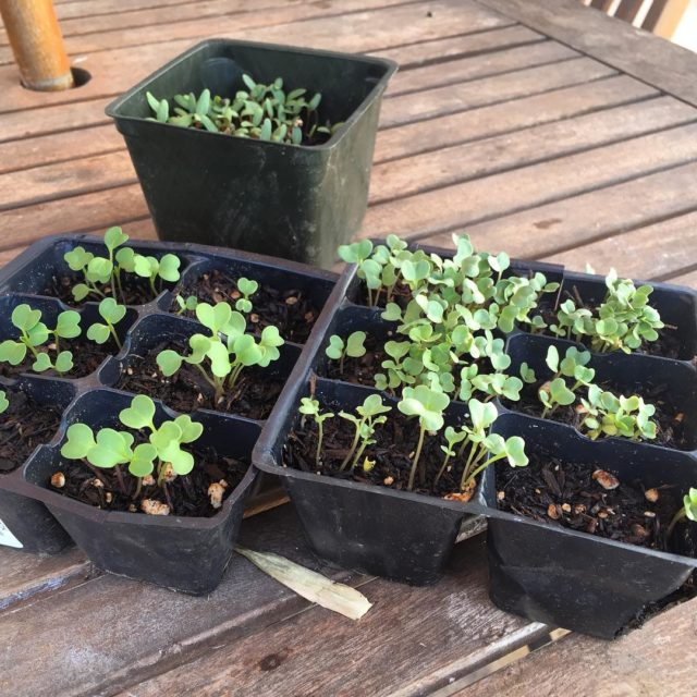 Seedlings for our fall garden are popping up Chard Broccolihellip