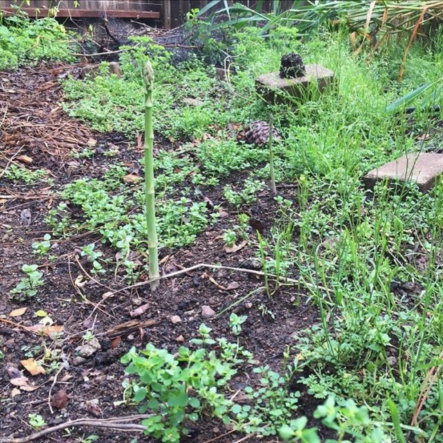 Our first asparagus of the year! Can you spot it?hellip